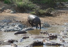 Hippo and shore Stock Images