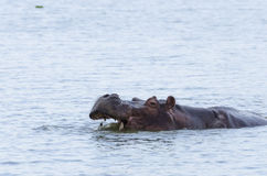 Hippo showing the teeths #1 Royalty Free Stock Images