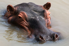 Hippo is sitting in the water. Botswana. Okavango Delta. Royalty Free Stock Image
