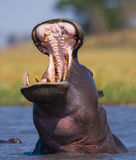 Hippo is sitting in the water, opening his mouth and yawning. Botswana. Okavango Delta. Royalty Free Stock Photos