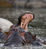 Hippo is sitting in the water, opening his mouth and yawning. Botswana. Okavango Delta. Stock Photography