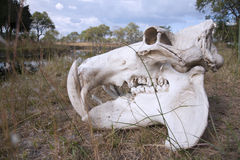 Hippo skull royalty free stock photos