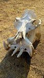 Hippo skull lying on ground in the bush. Hippopotamus skeleton dry bones in African savannah stock photography