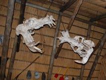 Hippo skulls royalty free stock photography