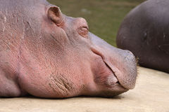 Hippo sleeping Stock Photography