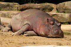 Hippo sleeping Stock Photos
