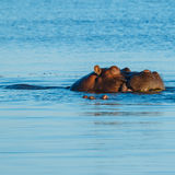 Hippo sleeping and eating in river Stock Images