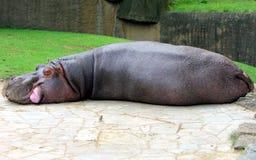 Hippo sleeping Royalty Free Stock Photography