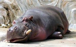 Hippo sleeping Stock Image
