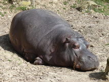 A hippo sleeping, skin detail Stock Image