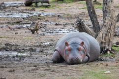 Hippo Sleeping stock photos