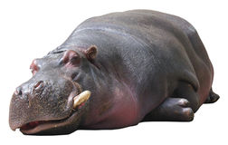 Hippo sleeping on white background Stock Photography