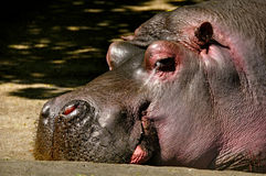 Hippo sleeping zoo Royalty Free Stock Photos