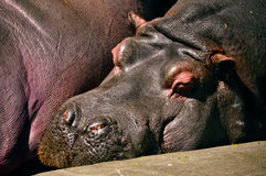 Hippo sleeping zoo Stock Photos