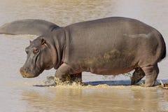 Hippo, South Africa. Hippo (Hippopotamus amphibius) walking through water in South Africa's Kruger Park Stock Photos
