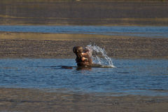 Hippo splashing Royalty Free Stock Photo