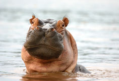 Hippo Stare. A stare from a hippopotamus in the Rufiji River, Selous, Tanzania Stock Images