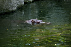Hippo sticking head above water Stock Image