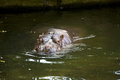 Hippo sticking head above water Stock Photography