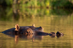 Hippo submerged Stock Photography