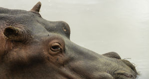 Hippo submerged in water Royalty Free Stock Photography
