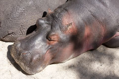 Hippo in the sun Stock Photography