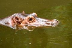 Hippo swiming in chiangmai zoo chiangmai Thailand. Hippo swiming in chiangmai zoo chiangmai province Thailand Stock Photo