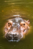 Hippo swiming in chiangmai zoo chiangmai Thailand Stock Photo