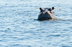 Hippo swimming Stock Images