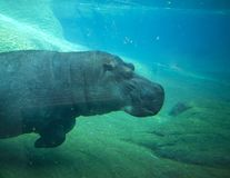 Hippo swimming in San Diego zoo. Royalty Free Stock Photography