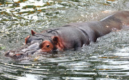 Hippo is swimming in the water Royalty Free Stock Images