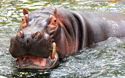 Hippo is swimming in the water Royalty Free Stock Image