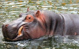 Hippo is swimming in the water Stock Photos
