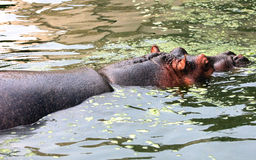 Hippo is swimming in the water Royalty Free Stock Photos