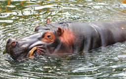 Hippo is swimming in the water Royalty Free Stock Photo