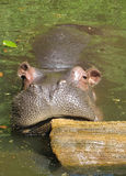 A Hippo in Taman Safari Indonesia Royalty Free Stock Photos