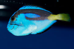 Hippo Tang with HLLE. Juvenile Paracanthurus hepatus with Head and lateral line erosion royalty free stock photography