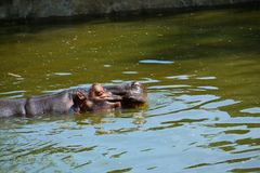 Hippo tans Royalty Free Stock Photography