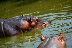 Hippo tans Stock Images