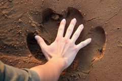 Hippo trace. In proportion with the palm of a man in the sand Royalty Free Stock Photography