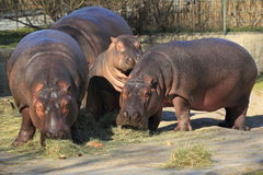 Hippo trio Stock Photography