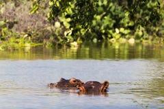 Hippo twee van Meer Baringo Kenia, Afrika stock afbeeldingen