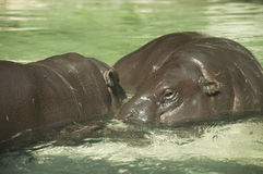 Hippo. Two hippos in the water Royalty Free Stock Photography