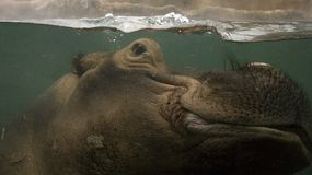 Hippo underwater. Photo of a hippopotamus underwater Stock Photos