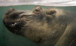 Hippo underwater. Photo of a hippopotamus underwater Royalty Free Stock Image