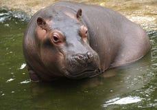 Hippo van de baby Stock Fotografie