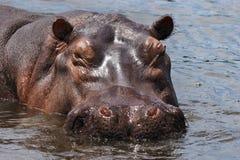 Hippo van de slaap Royalty-vrije Stock Foto's