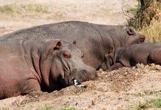 Hippo van het nijlpaard en van de baby Royalty-vrije Stock Foto