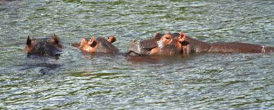 Hippo Wading Panoramic. A hippo looks at the camera in a small panoramic picture royalty free stock images