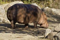 Hippo walking Stock Photos